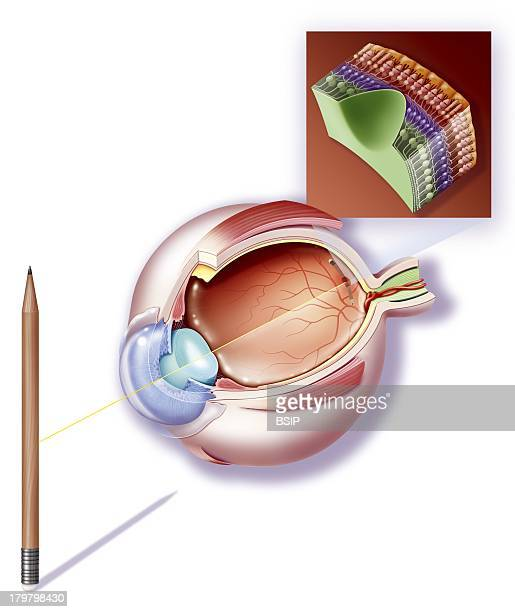 Sight A Pencil Is Refracted By The Lens And The Cornea On The Retina Zoom Is Constituted Of Three Types Of Neurons Placed In Layers Photoreceptors...