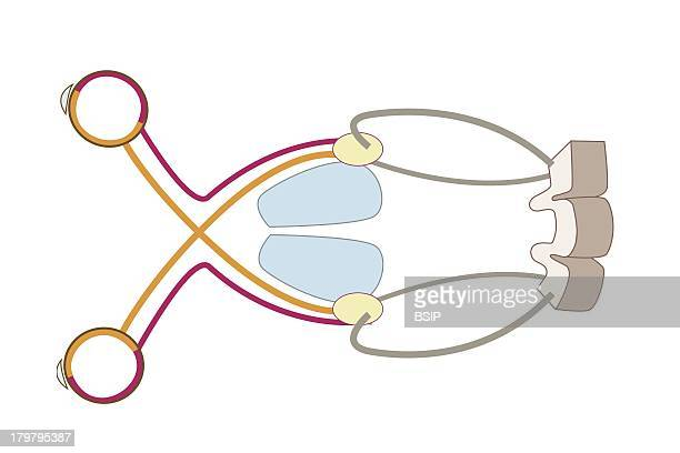 Optic Chiasm Stock Photos And Pictures Getty Images