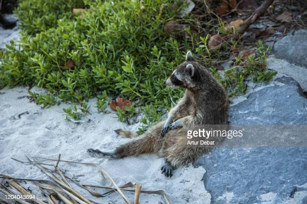 sighting funny raccoon in the key biscayne state park scratching belly. - florida us state stock pictures, royalty-free photos & images