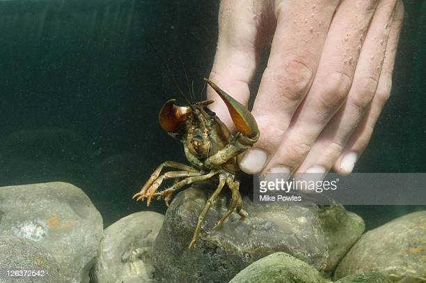 Signal crayfish, Pacifastacus leniusculus, hand picking up captive crayfish collected from River Wensum, Norfolk, UK