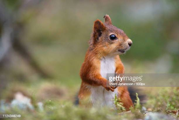 sigtuna, sweden - squirrel stock pictures, royalty-free photos & images