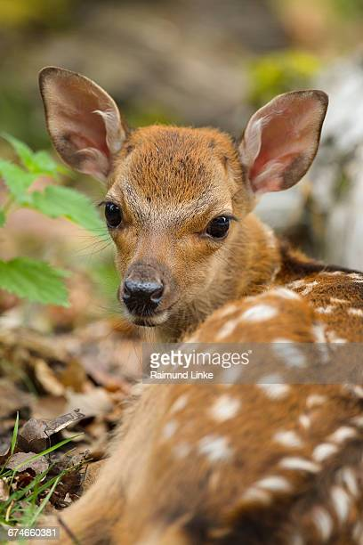 sika deer, cervus nippon, fawn - fawn stock photos and pictures
