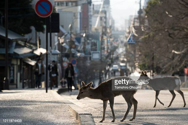 Sika deer cross a road on March 12, 2020 in Nara, Japan. Like a number of tourist hotspots around the country, Nara, a popular ancient city where...