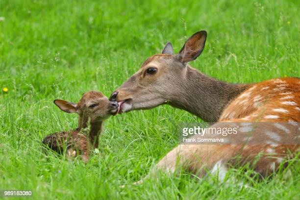 sika deer (cervus nippon), doe with newborn fawn, captive, bavaria, germany - biche photos et images de collection