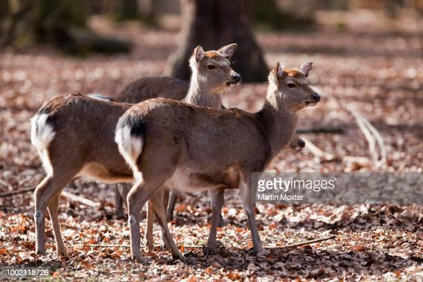 sika deer (cervus nippon), hesse, germany - vista lateral stock pictures, royalty-free photos & images