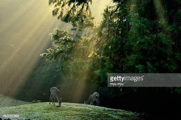 Sika Deer in morning light