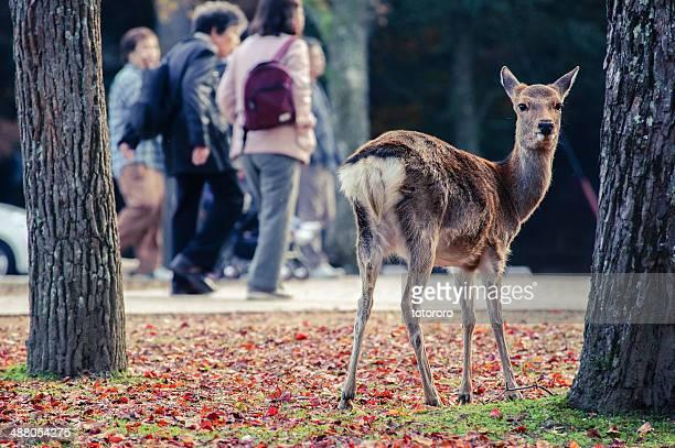 sika deer in nara park in autumn - 奈良市 ストックフォトと画像