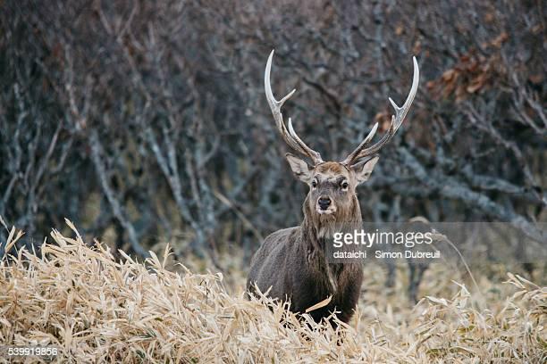sika deer in notsuke peninsula - 動物の雄 ストックフォトと画像