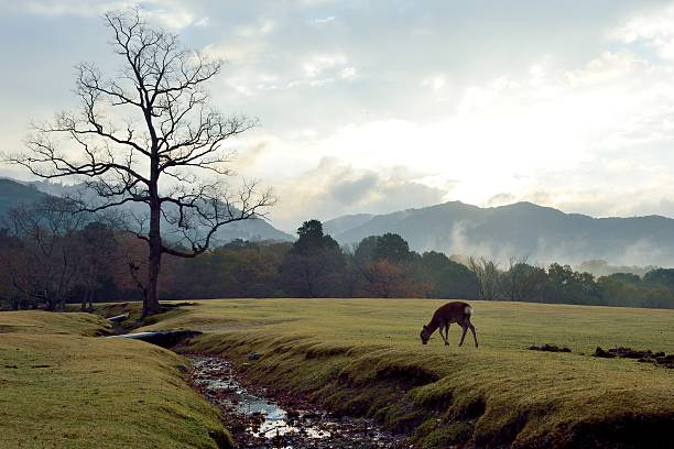 Sika deer in the early morning