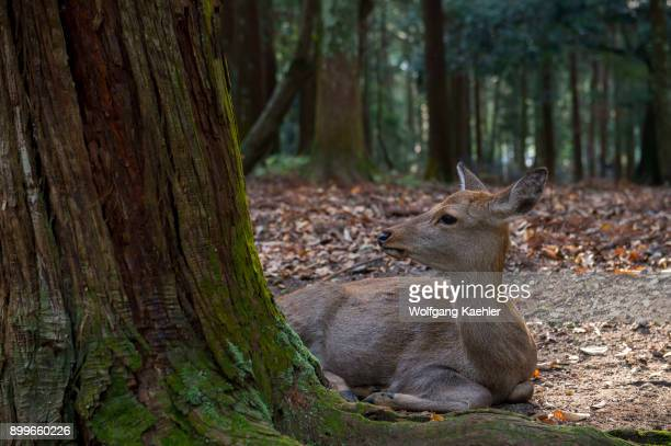 Sika deer is resting in the forest of the Kasuga Taisha Shinen Manyo Botanical Garden near the Kasuga Shrine in the city of Nara in Nara Prefecture...