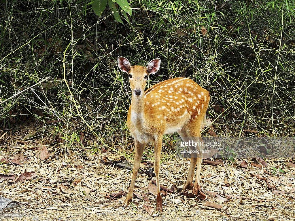 sika deer : Stock Photo