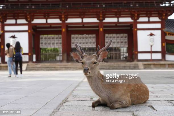 Sika deer sits on a footpath at the deserted Todaiji Temple. The UNESCO World Heritage listed temple is reopened as the state of emergency has been...