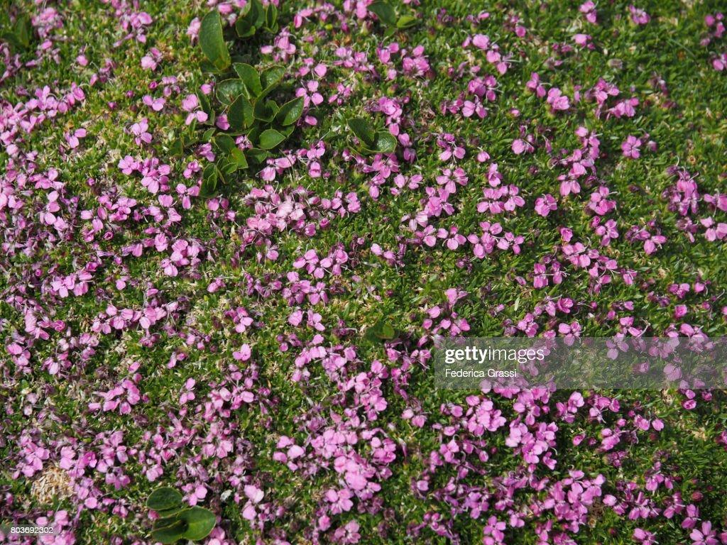 Silene Acaulis Pink Flowering Cushion Stock Photo Getty Images