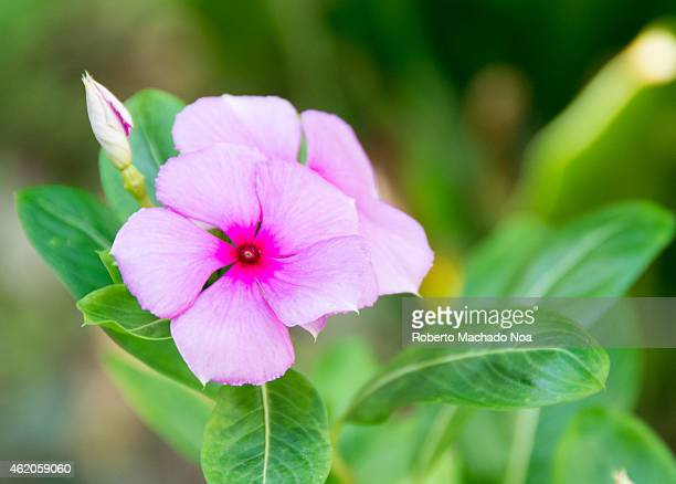 Silene viscaria the sticky catchfly is a flowering plant in the family Caryophyllaceae It is an upright perennial growing to 60 cm in height It gets...