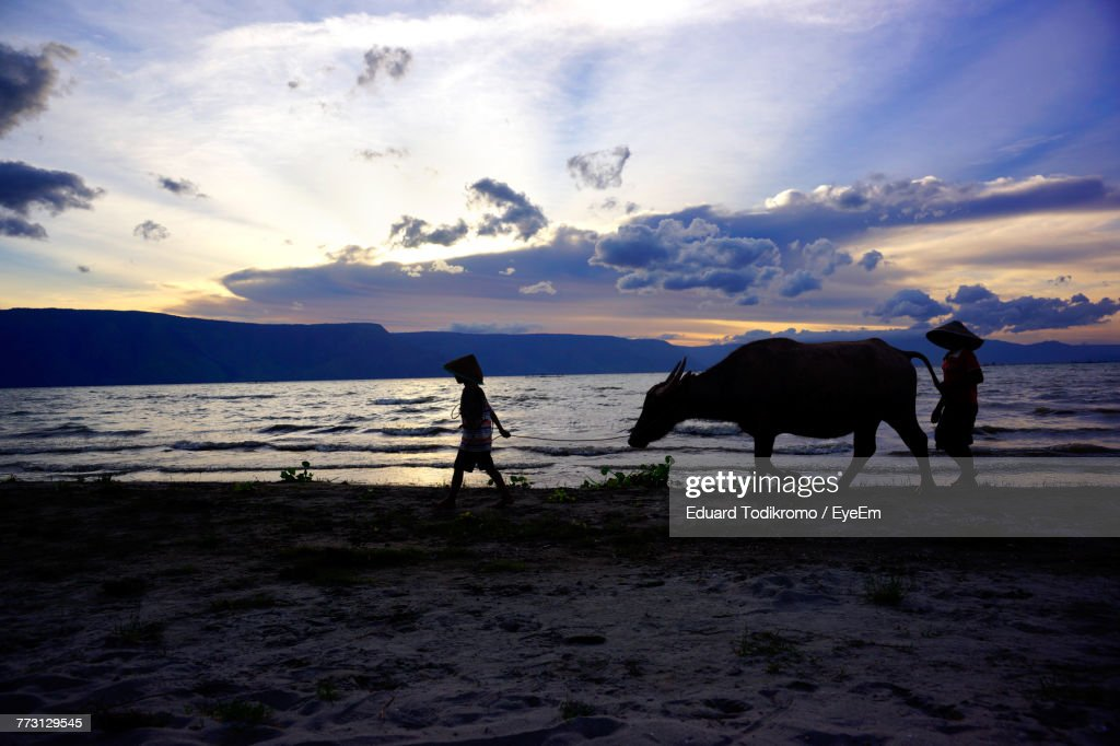 Silhouette Boys Walking With Cattle On Shore Against Sky During Sunset : Photo