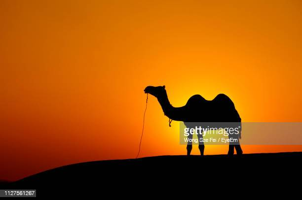 silhouette camel standing on field against sky - camel stock pictures, royalty-free photos & images