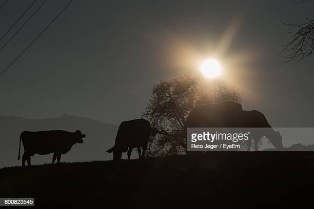 Silhouette Cattle Grazing During Sunset