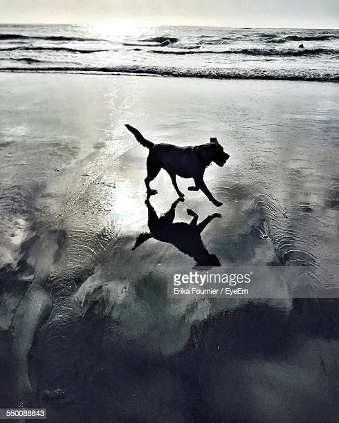 Silhouette Dog Running On Shore At Beach