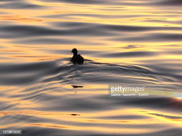 silhouette duck swimming on lake during sunset - sabine hauswirth stock pictures, royalty-free photos & images