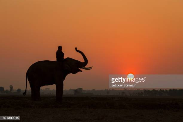Silhouette elephant action and mahout in sunset
