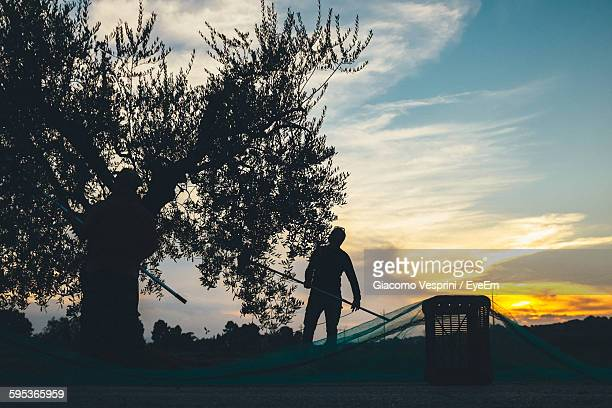 silhouette farmers harvesting olives from tree in orchard against sky - olive orchard stock photos and pictures