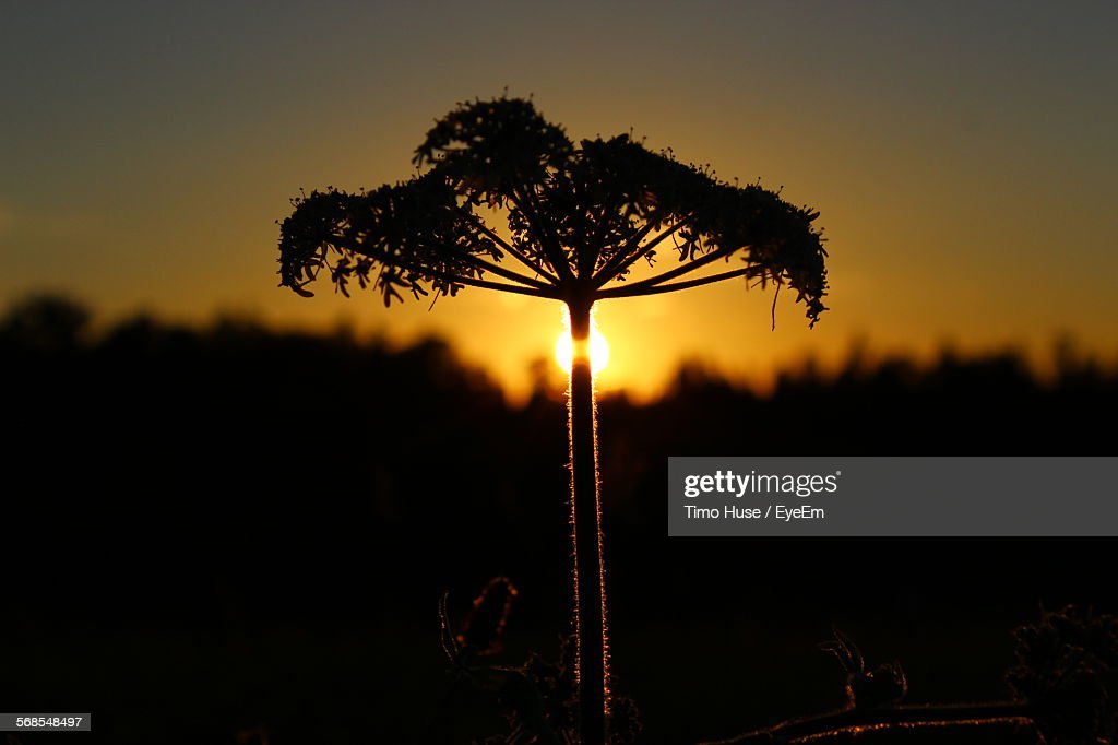 Silhouette Flowers Blooming On Field Against Sky At Sunset : Stock Photo