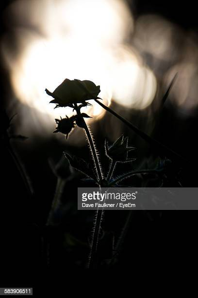 Silhouette Flowers Growing On Field During Sunset