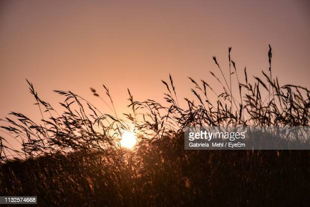silhouette grass on field against clear sky during sunset - gabriela stock pictures, royalty-free photos & images