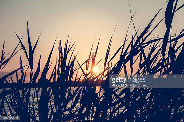 silhouette grass on lakeshore against clear sky during sunset - albrecht schlotter stock photos and pictures