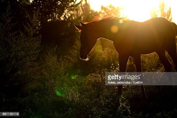 Silhouette Horse Standing On Field During Sunset