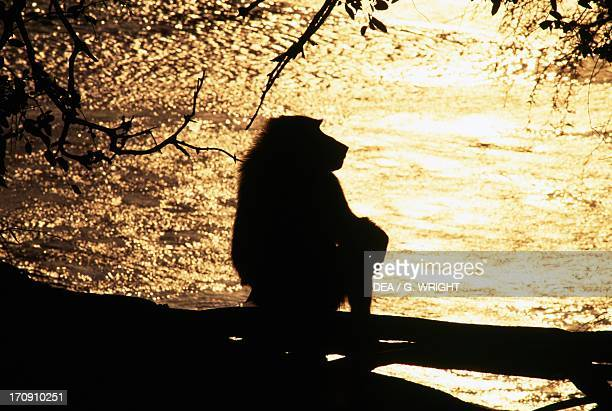 Silhouette of a baboon at sunset Samburu National Reserve Kenya