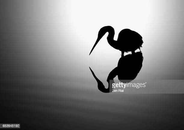 silhouette of a backlit wading bird foraging in wetland showing it's reflection - zen rial stock photos and pictures