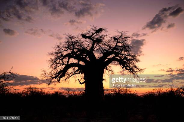 Silhouette of a Baobab tree at sunset Adamsonia digitata is a longlived tree that can live up to thousands of years
