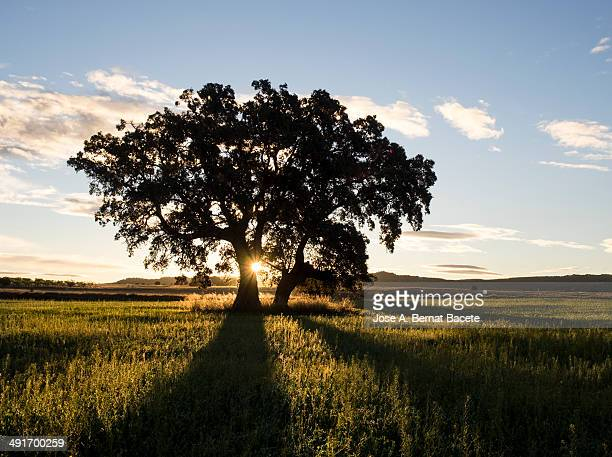 Silhouette of a big tree with sunbeams and shadows