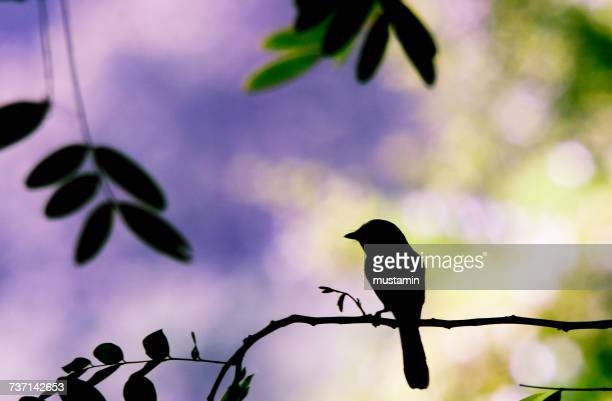 Silhouette of a bird on a branch, Gorontalo, Indonesia