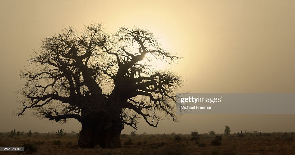 Silhouette of a Boab Tree : Stock Photo