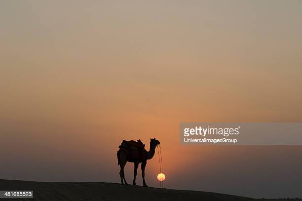 Silhouette of a camel standing Jaisalmer Rajasthan India