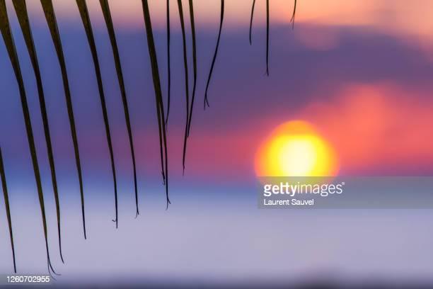 silhouette of a coconut palm leaf at sunset, martinique, france - laurent sauvel photos et images de collection
