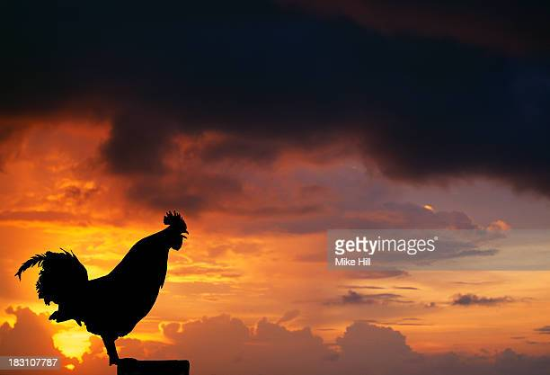 Silhouette of a crowing cockerel at sunrise