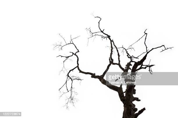 silhouette of a dry bare tree and branches, isolated on white background. - branch stock pictures, royalty-free photos & images