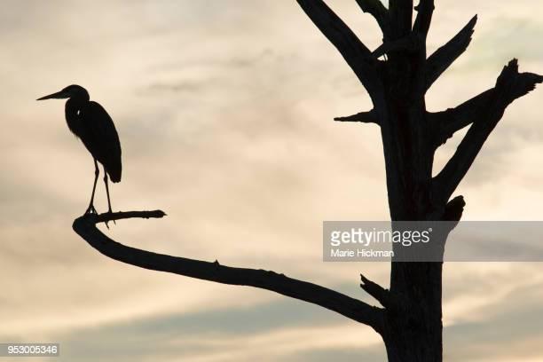 Silhouette of a GRAY HERON on a dead tree at Green Cay Wetlands Park in Boynton Beach, Florida.