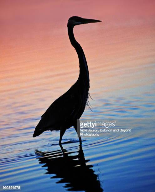 silhouette of a great blue heron at sunrise on fort myers beach, florida - fort myers beach stock photos and pictures