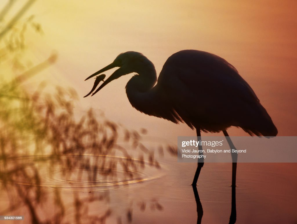 silhouette of a great egret against orange background stock photo