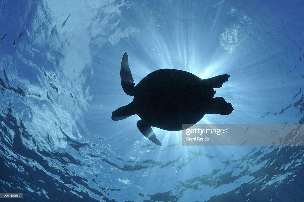 Silhouette of a Green Sea Turtle (Chelonia mydas)  : Foto de stock