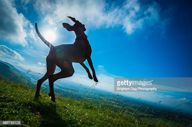 A silhouette of a jumping dog