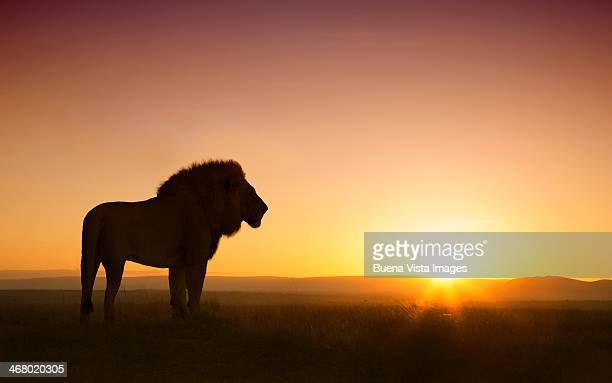 silhouette of a leon (Panthera Leo) at sunset
