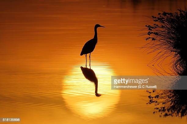 Silhouette of a Little Egret at sunrise with reflections of sun and bird in marshland pool