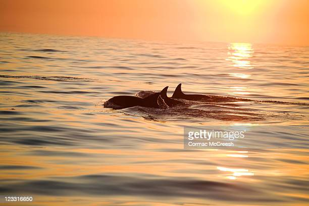 Silhouette of a pair of Bottlenose Dolphin (Tursiops aduncus) surfacing at sunrise, Nelson Mandela Bay (formally Algoa Bay), Eastern Cape, South Africa