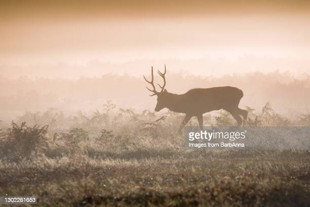 silhouette of a red deer stag walking in the early morning mist - herbivorous stock pictures, royalty-free photos & images