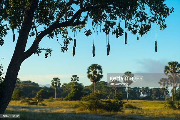 Silhouette of a sausage tree early in the morning, Liwonde National Park; Malawi